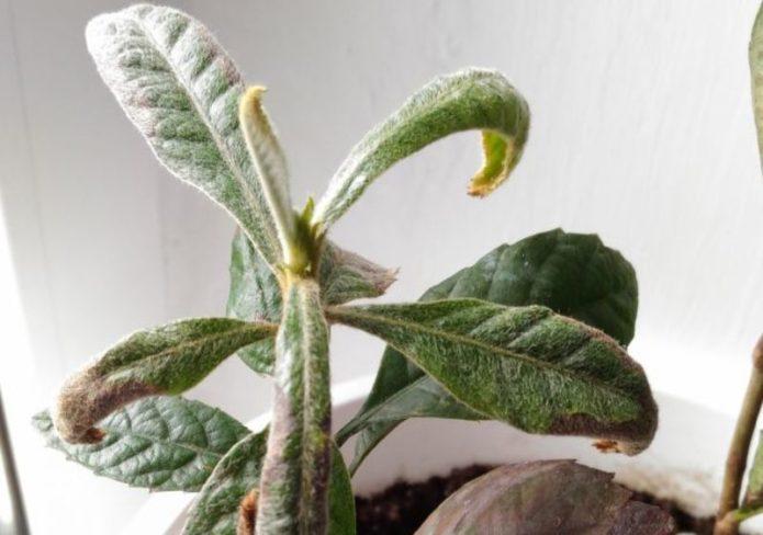 У мушмулы скручиваются листья