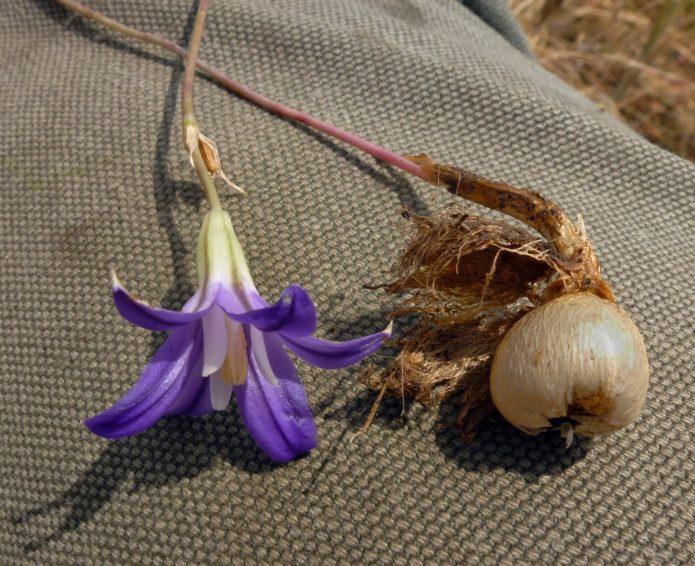 Синяя бродиэя кон фабиола, цветок и луковица