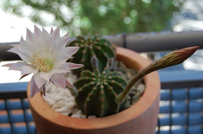 Цветущий эхинопсис