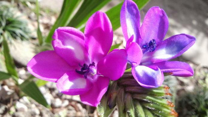 Цветок бабиана прямая