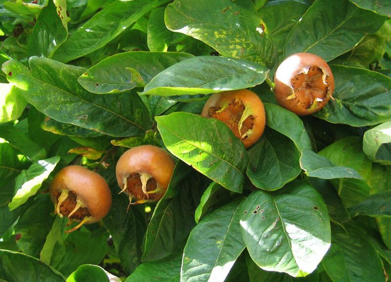 Мушмула германская: можно ли вырастить любопытный фрукт в наших краях?