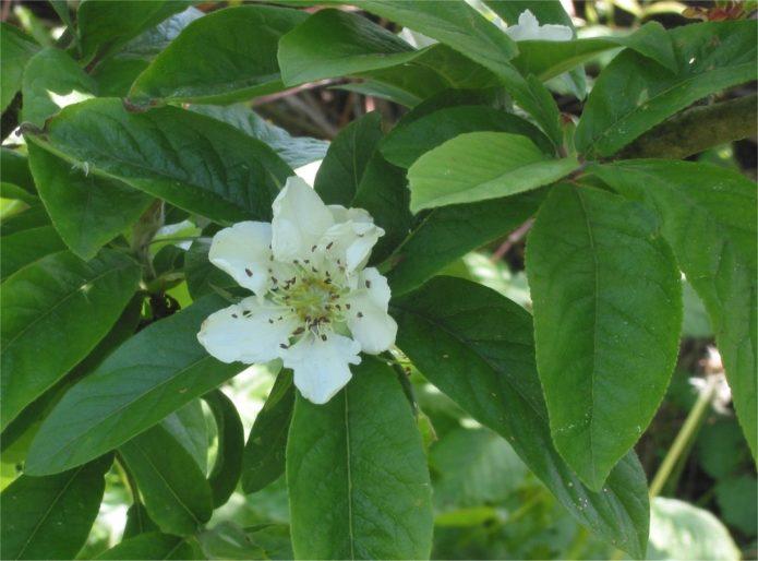 Мушмула кавказская цветение