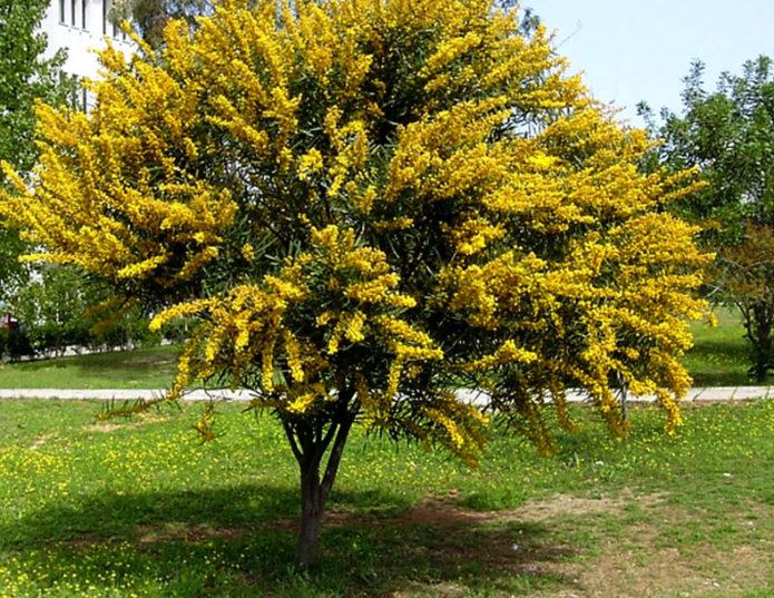 Жёлтая акация в саду