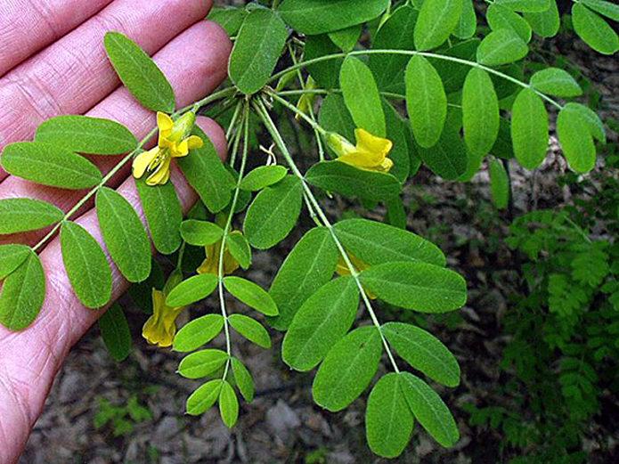 Листья жёлтой акации
