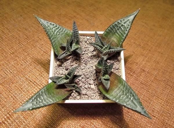 Размножение агавы листом