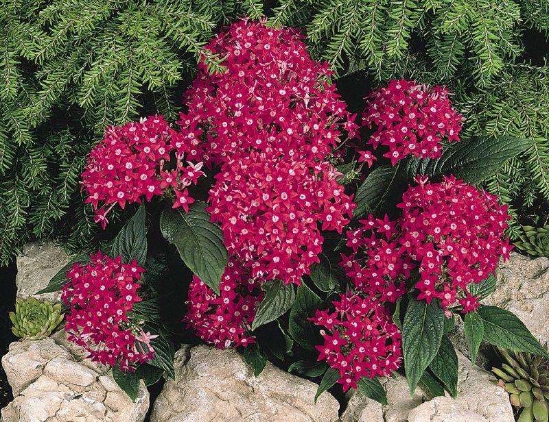 Выращивание цветка пентас