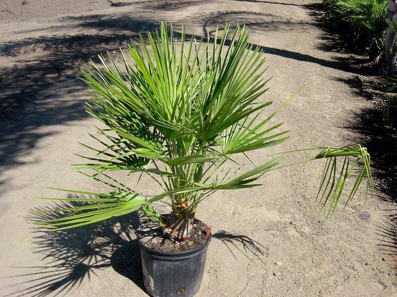 Пальма хамеропс: выращивание и уход