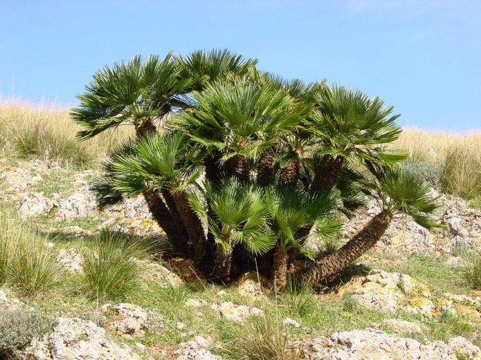 Пальма хамеропс в природе