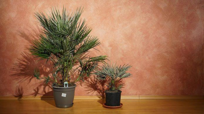 Пальма хамеропс в помещении