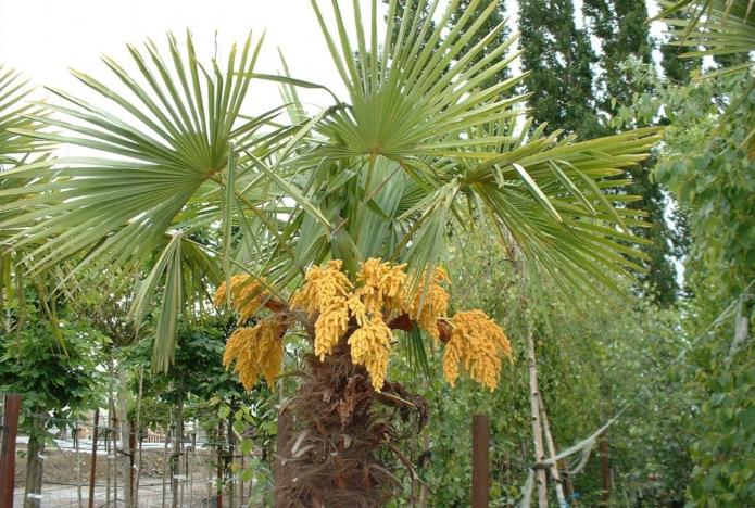 Цветение пальмы хамеропс