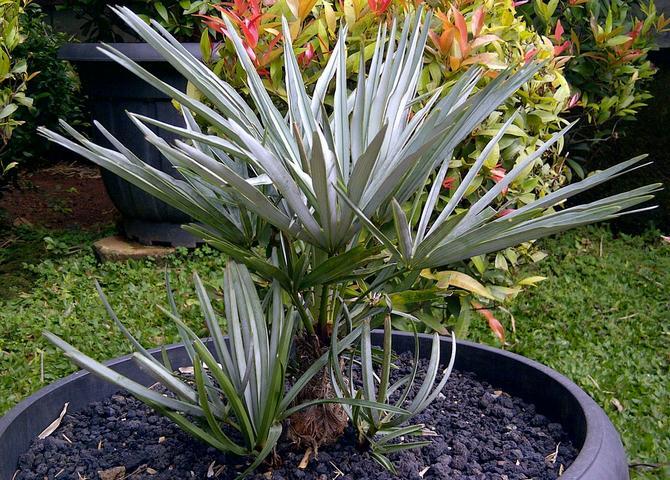 Молодая пальма хамеропс в вазоне