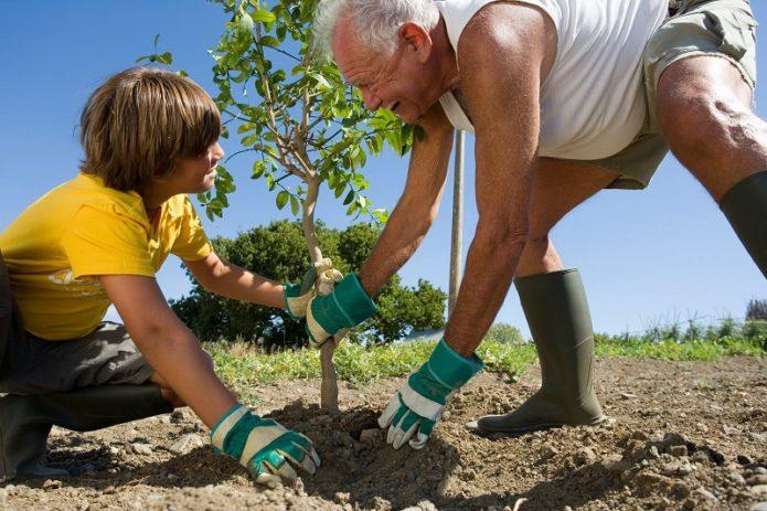 Дед и внук сажают дерево