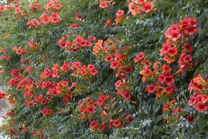 Текома —яркий акцент в вашем саду!