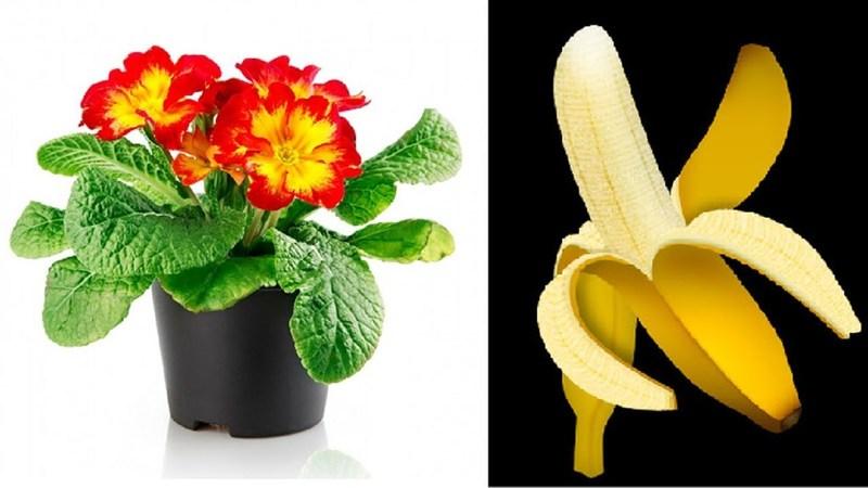 Шкурки банана как подкормка для домашних цветов
