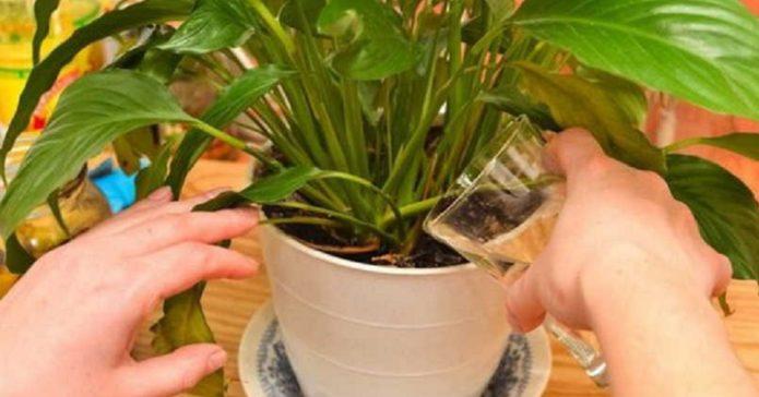 Полив растения банановой настойкой