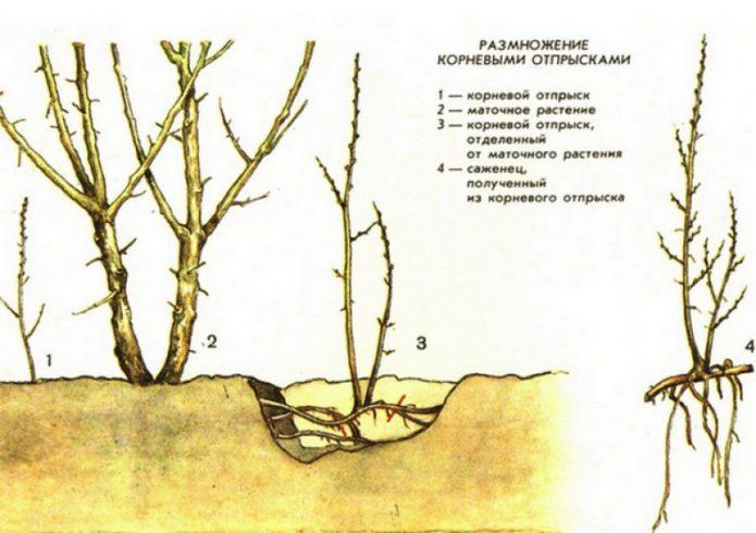 Размножение аралии отпрысками