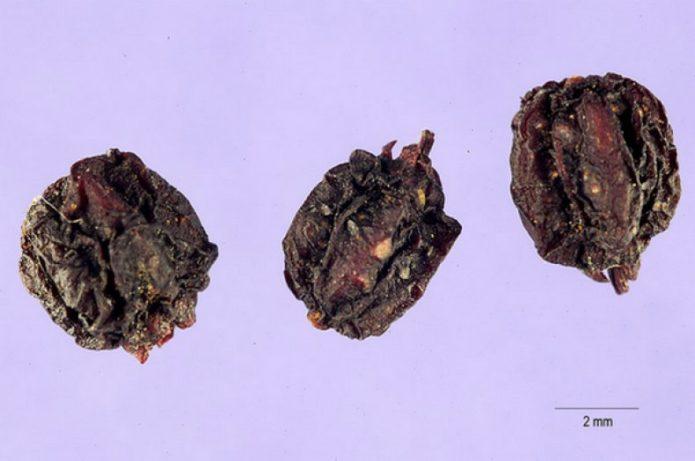 Семена аралии маньчжурской