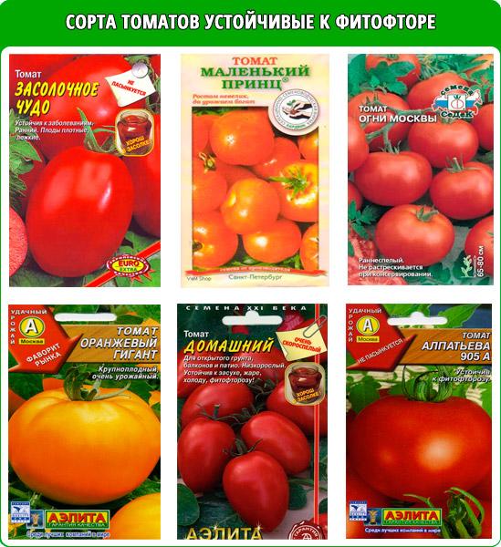 Сорта томатов, устойчивых к фитофторозу