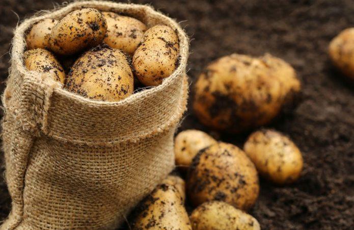 Урожай молодого картофеля в мешке