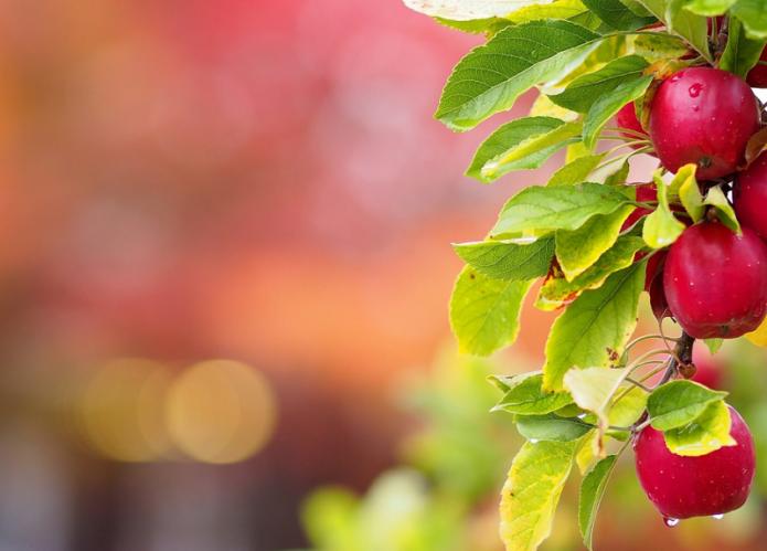 Спелые красные яблоки на ветке
