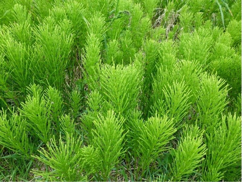 Хвощ полевой: вред и польза лекарственной травы