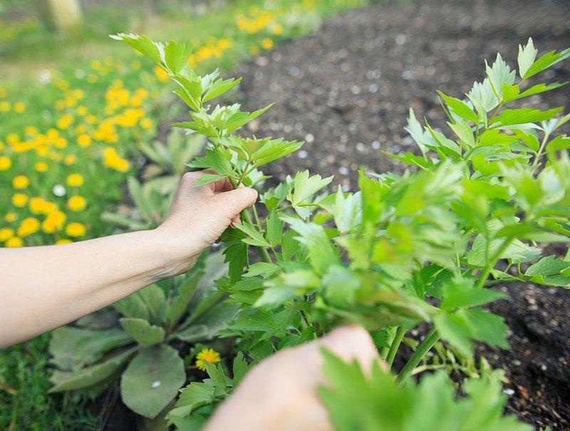 Применяем лечебную траву любисток правильно: рецепты здоровья