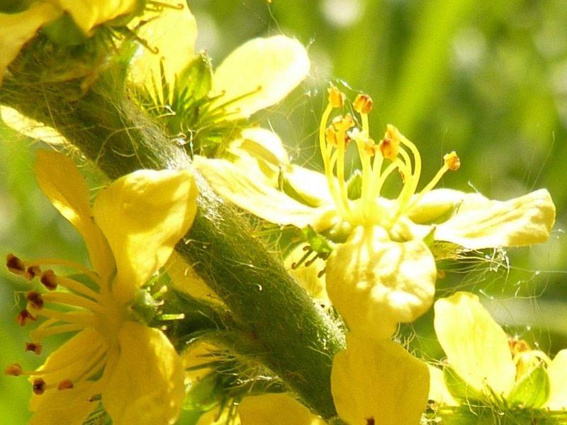 Репешок — лечебные свойства травы и противопоказания, применение, рецепты