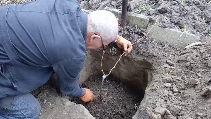 Посадка винограда в яму осенью