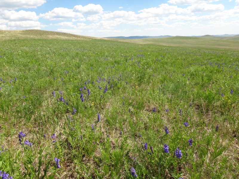 Как укрепить сердце и сосуды с помощью простой сердечной травы