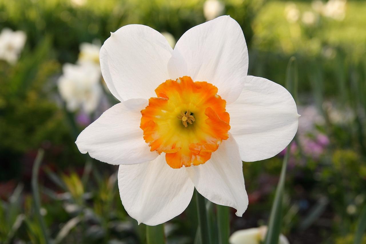 эти картинки цветка нарцисса его территории разных