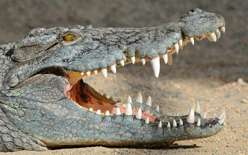 Миллионы лет назад среди крокодилов было модно быть веганом