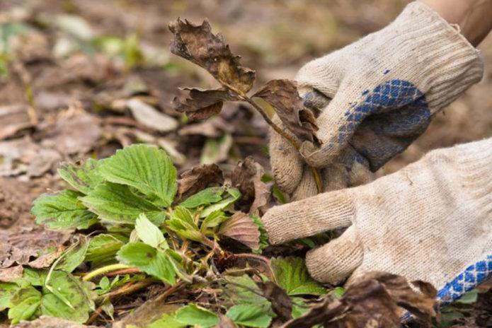 Удаление сухих и больных листьев