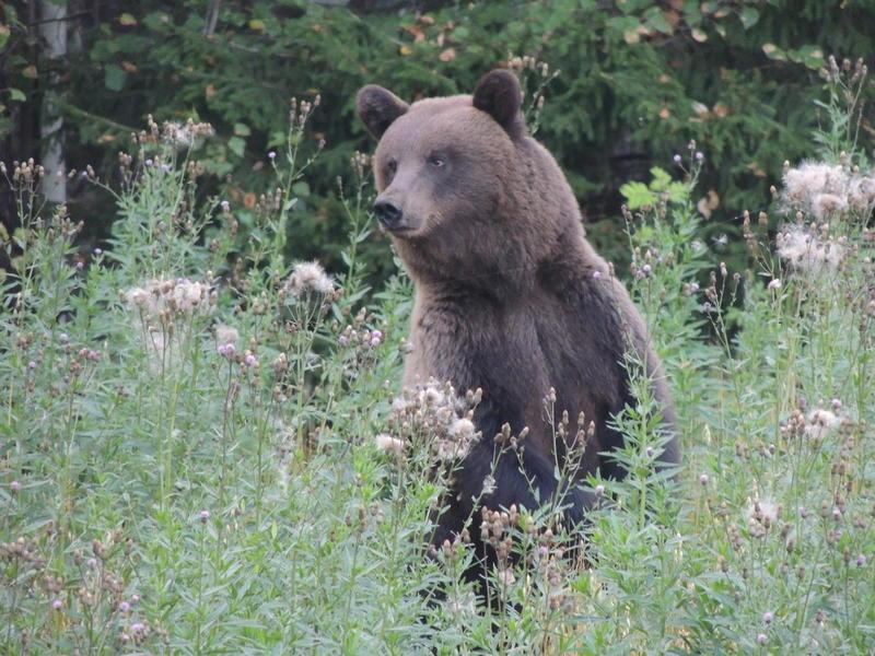 медведь пришел к дому