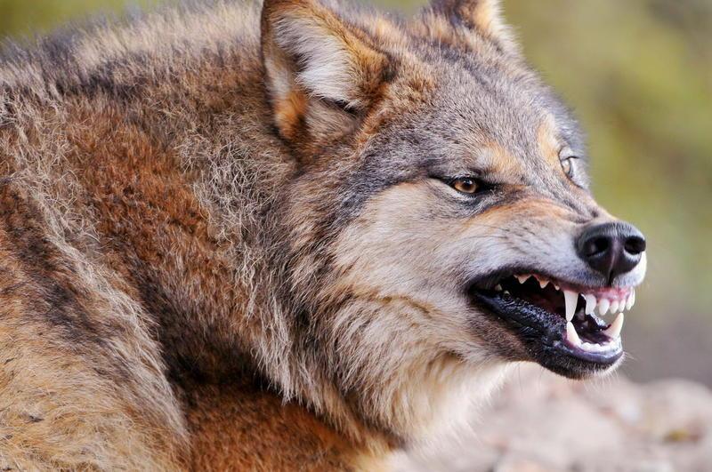 «Осторожно, волки»: жители башкирского села опасаются нападения диких животных