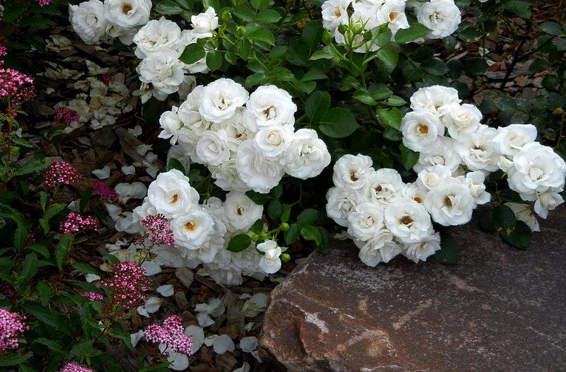 Ковёр из прекрасных почвопокровных роз: 45 идей использования в ландшафтном дизайне
