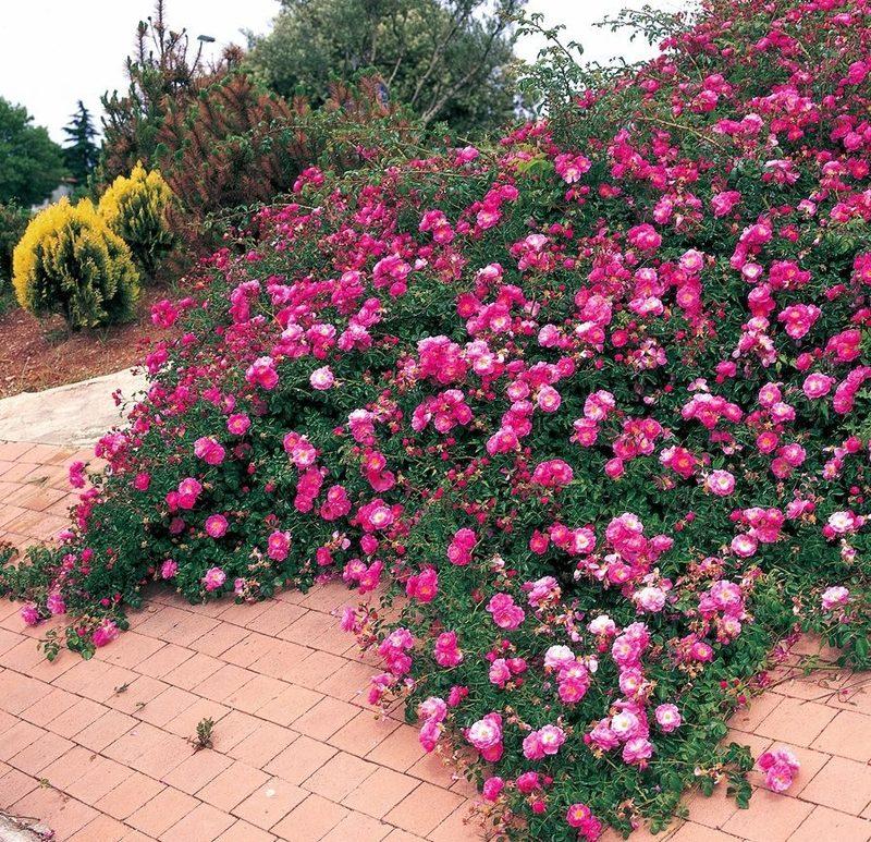 бразильских почвопокровные розы в ландшафтном дизайне фото предварительно отваривается