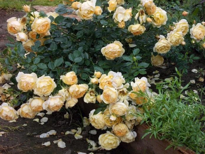 Почвопокровные розы