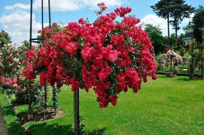 Почвопокровные розы в штамбе