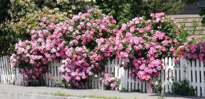 Почвопокровные розы в ландшафтном дизайне