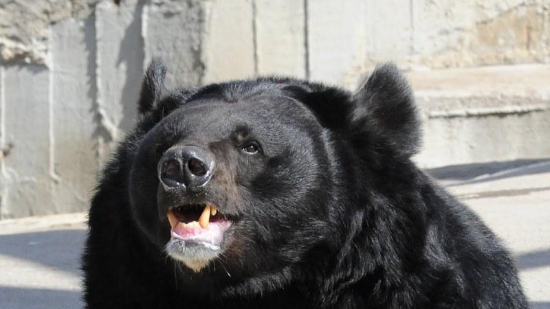 «Эх, прокачу!»: гималайский медведь заинтересовался старым грузовиком