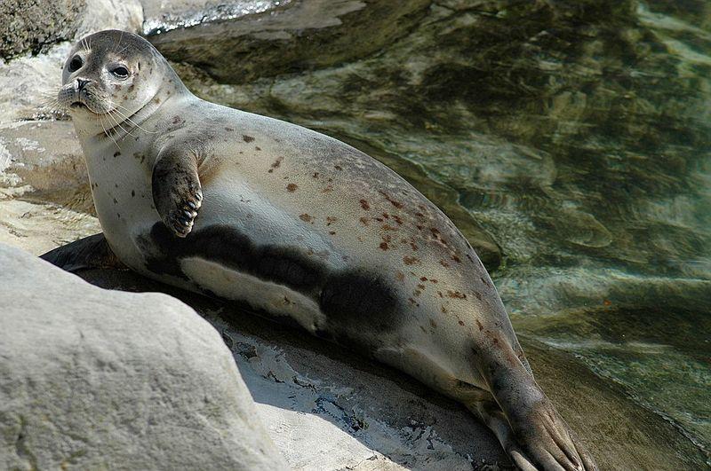 тюлень австралия