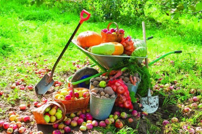 Урожай в ведрах, корзинах и садовой тачке