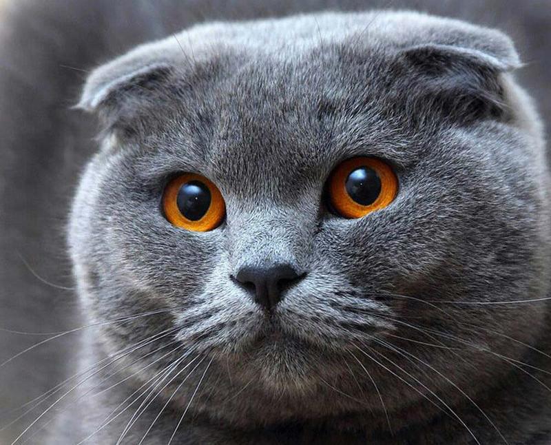 «Перетрудился»: кот попал под капельницу после спаривания с пятью кошками