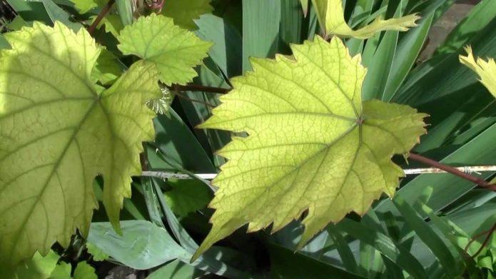 Пожелтение листьев винограда от недостатка подкормки