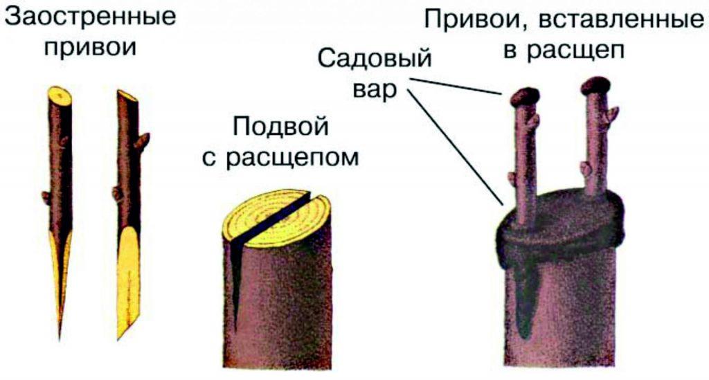 Прививка яблонь весной для начинающих сроки, типы и инструкции пошагово с видео