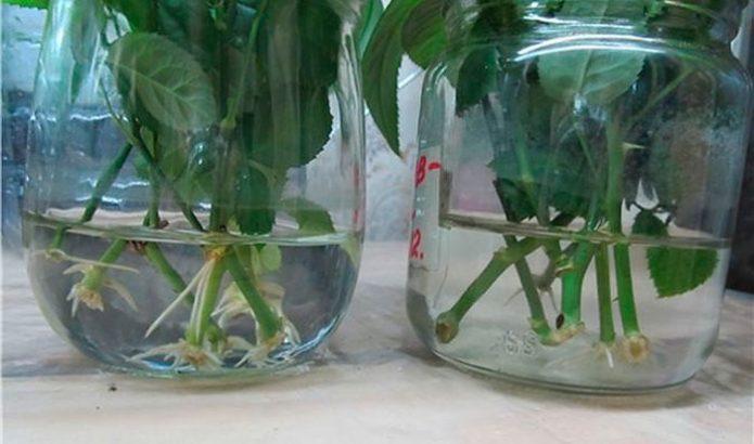Прорастающие в воде черенки ирги
