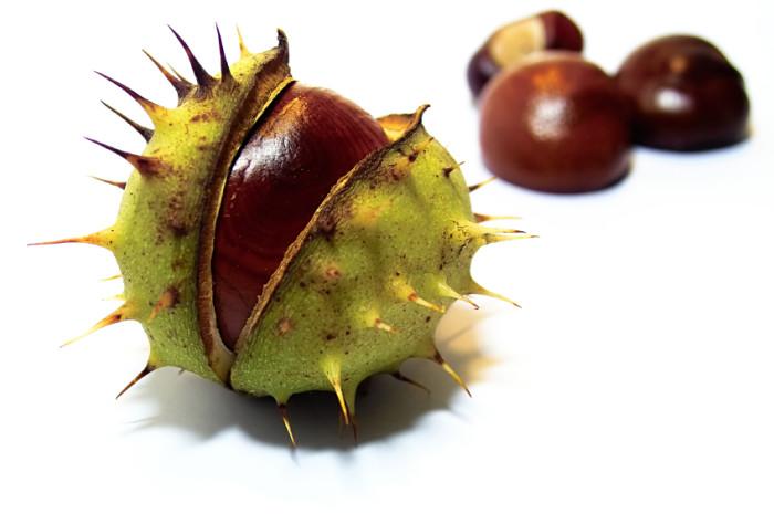 Созревший плод каштана