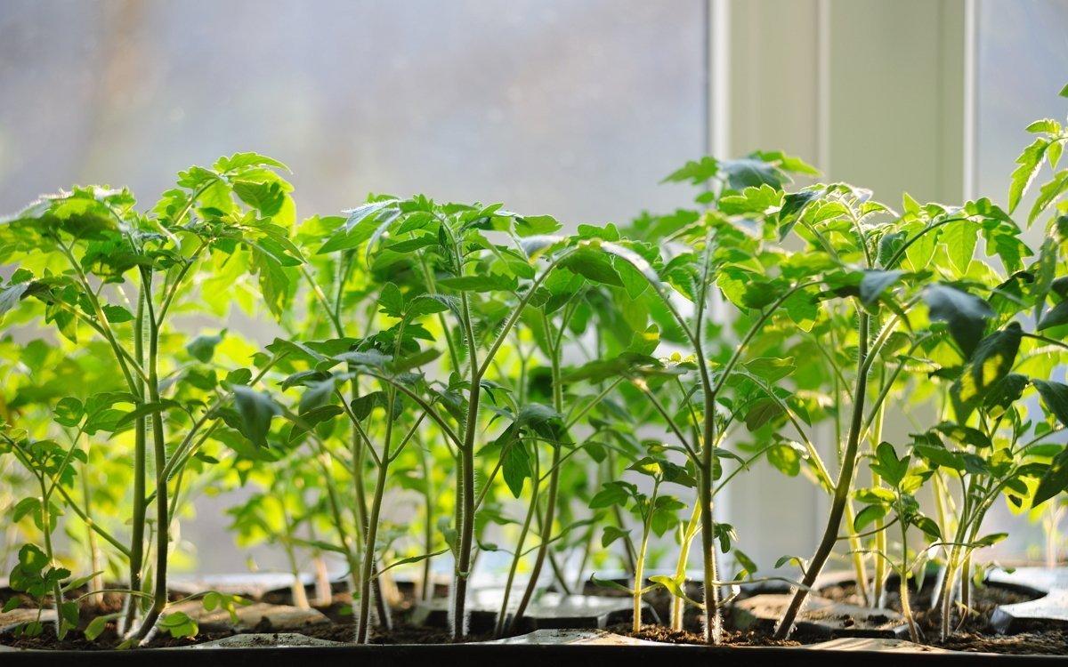 Все подкормки для рассады помидоров: виды удобрений, когда и чем лучше подкармливать