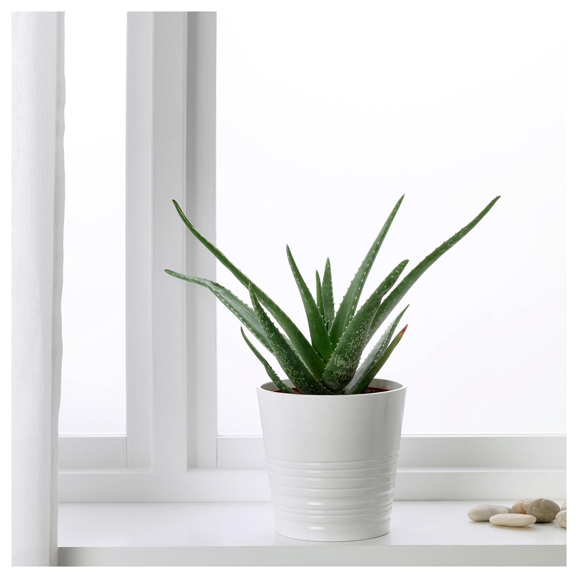 Алоэ вера: выращивание растения в домашних условиях