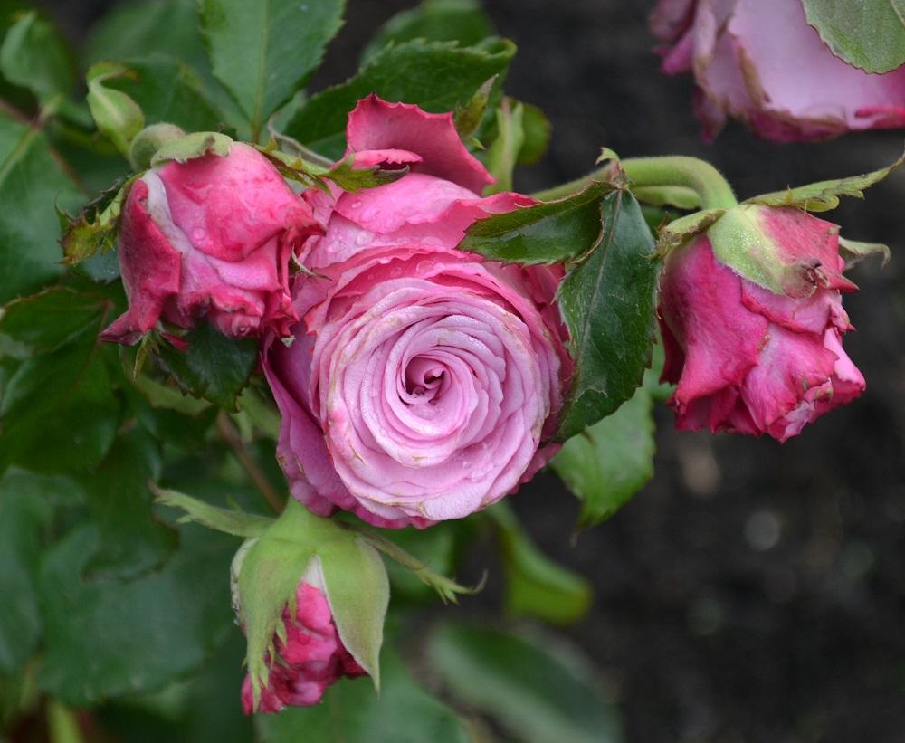 Чайно-гибридные розы: лучшие сорта, фото, описание